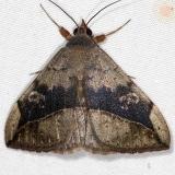 8574 Velvetbean Caterpillar Moth Campsite 119 Falcon St Pk Texas 10-27-16_opt