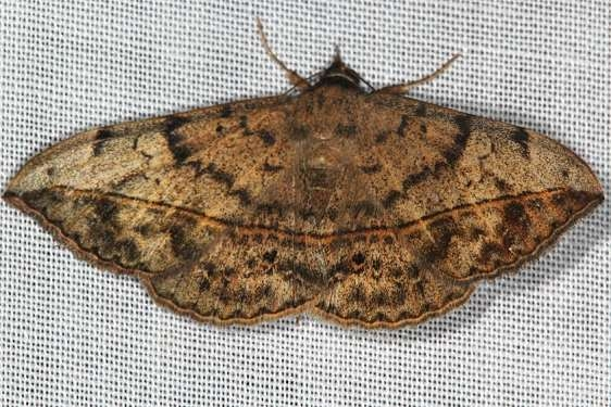 8574 Velvetbean Caterpillar Moth yard 10-6-16_opt