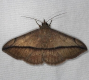 8574 Velvetbean Caterpillar Moth yard 10-13-14