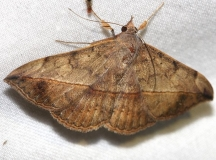 8574 Velvetbean Caterpillar Moth yard 10-24-12