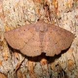 8577 Antiblemma rufinans Mahogany Hammock Everglades 2-27-12