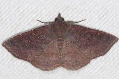 8579 Antiblemma concinnula Mahogany Hammock Everglades 3-1-15