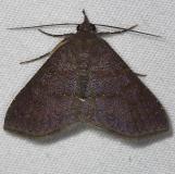 8579.97 Antiblemma sp. Oscar Scherer St Pk 3-14-15
