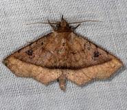 8582 Ephyrodes cacata NABA Gardens Texas 11-3-13