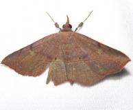 8582 Epidromia cacata Everglades Nalt Pk Long Pine Key Fl 3-4-13