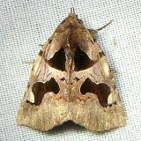 8583 Athyrma adjuctix Mahogany Hammock Everglades National Pk 2-25-12