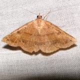 8585 Orange Panopoda Moth worn Grasshopper Lake Ocala Natl 3-15-12