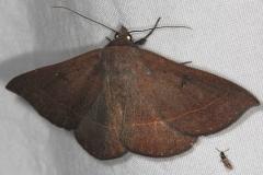 8585.2 Epidromia pannosa Oscar Scherer St Pk 3-12-15