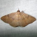 8585.2 Epidromia pannosa female CREW Fl 3-5-12