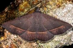 8585.3 Epidromia rotundata Pineland Everglades Fl 2-26-15