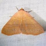 8587 Red-lined Panopoda Moth Grasshopper Lake Ocala Natl 3-15-12