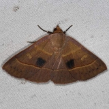 8587 Red-lined Panopoda Moth Oscar Scherer St Pk 3-14-15
