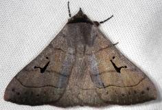 8588 Brown Panapoda Moth Shawnee St Pk Oh 6-15-13