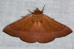 8589 Orange Panopoda Moth Pinelands Everglades Fl 2-18-14