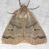 8591 Common Oak Moth yard 4-17-13