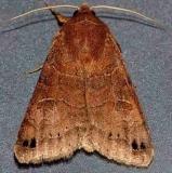 8592 Black-dotted brown Moth Lake Kissimmee St Pk Fl 2-28-13