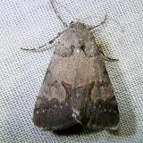 8596 Unidentified Cissusa Moth Juniper Springs Ocala Natl Frt 3-1-12