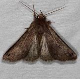 8596.96 Cissusa n. sp. Cumberland Falls St Pk Ky 4-22-14