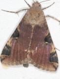 8598 Melipotis perpendicularis Campsite 119 Falcon St Pk Texas 10-27-16_opt