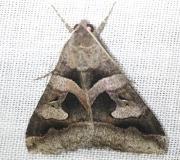 8598 Melipotis perpendicularis Everglade Natl Pk Nike Missle Rd 3-5-13