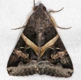 8598 Melipotis perpendicularis NABA Gardens Texas 11-3-13