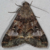 8598 Melipotis perpendicularis yard 7-14-15