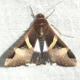 8599 Faciolated Melipotis Moth Kissimmee Prairie St Pk 3-12-13