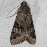8600 Indomitable Melipotis Moth NABA Gardens Texas 11-3-13
