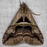8601 Cellar Melipotis Moth NABA Gardens Texas 11-3-13