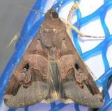 8603 January Melipotis Moth Hid8603 January Melipotis Moth Hidden Lake Everglades Natl Pk 3-9-13