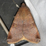 8603 January Melipotis Moth Mahogany Hammock Everglades Natl Pk 3-10-13