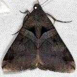 8603 Undefined Melipotis Moth Pineland Everglades 2-18-14