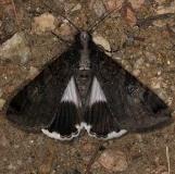 8604 Melipotis famelica NABA Gardens Texas 11-3-13