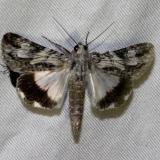 8607 Merry Melipotis Moth Mahogany Hammock Everglades Natl Pk 3-10-13