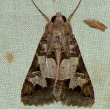 8609 Melipotis novanda Benson St Pk Texas 10-16-08