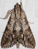 8610 Royal Poinciana Moth NABA Gardens Texas 11-3-13