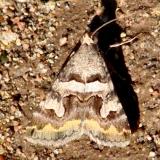 8614 Bulia deducta Along Arizona Rt 59 9-12-12