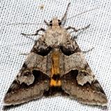 8618 Graphica Moth Ochlockonee River St Pk Fl3-29-13