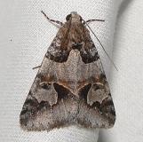 8619 Occult Drasteria Moth Juniper Springs Ocala Natl 3-13-12