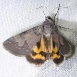 8619 Occult Drasteria Moth Juniper Springs Ocala Natl 3-14-12