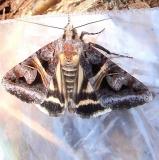 8641 Drasteria grandirena Kitty Todd Preserve Oh 5-21-11