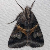 8641 Figure-seven Moth Burr Oak St Pk at lodge Oh 6-28-14