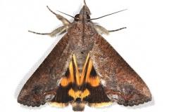 8642 Hypocala Moth Campsite 119 Falcon St Pk 10-22-16_opt