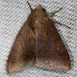 8642 Hypocala andremona NABA Gardens Texas 11-3-13