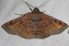 8645 Hemeroblemma opigena Mahogony Hammock 2-18-14