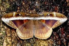 8645 Hemeroblemma opigena male Mahogany Hammock Everglades 2-27-12 (43a)