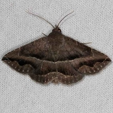 8651 Detracted Owlet Moth NABA Gardens Texas 11-3-13