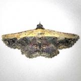 8658 Pale-edged Selensia Moth Everglade Natl Pk Nike Missle Rd 3-5-13