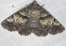 8666 Live Oak Metria Moth Lake Kissimmee St Pk Fl 2-26-13