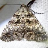 8666 Live Oak Metria Moth Grasshopper Lake Ocala Nat'l Forest 3-15-12